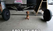 cute timy small puppy dog holding weights barbell spot me bro funny pics pictures pic picture image photo images photos lol