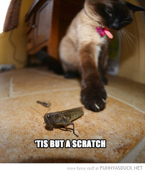 cat lolcat animal attack kill grass hopper cricket insect tis but scratch funny pics pictures pic picture image photo images photos lol