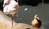 under cover duck bird animal day 43 still don't know flamingo funny pics pictures pic picture image photo images photos lol