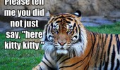 angry tiger animal please tell me did not say here kitty funny pics pictures pic picture image photo images photos lol