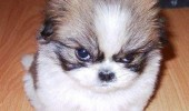 cute fluffy dog animal puppy destroyer of worlds funny pics pictures pic picture image photo images photos lol