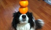 dog balancing oranges head nose animal citrus fruit balanced diet funny pics pictures pic picture image photo images photos lol