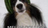 dog animal fruit hat melon collie funny pics pictures pic picture image photo images photos lol