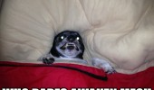 angry evil vampire dog animal bed who dares awaken me funny pics pictures pic picture image photo images photos lol