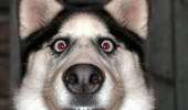 crazy eyes dog animal good morning like coffee husky  funny pics pictures pic picture image photo images photos lol