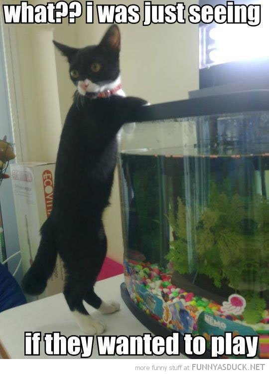 what cat lolcat animal looking fish tank aquarium just wanted play funny pics pictures pic picture image photo images photos lol