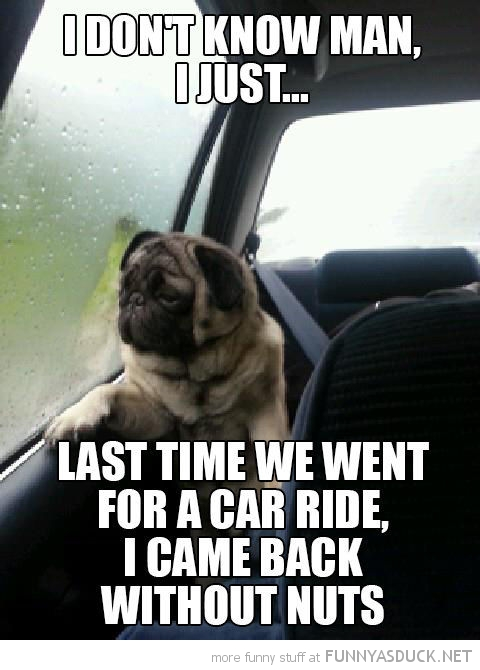 pug dog looking window animal introspective last time car ride back without nuts funny pics pictures pic picture image photo images photos lol