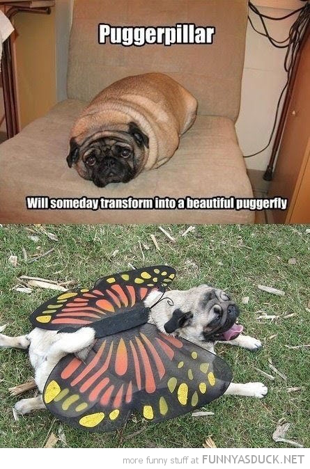 pug dog animal caterpillar butterfly beautiful happy funny pics ...
