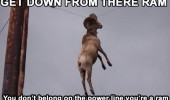 ram stuck power line animal goat get down from there funny pics pictures pic picture image photo images photos lol