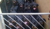 you shall not pass dogs animals rottweilers happy gandalf funny pics pictures pic picture image photo images photos lol