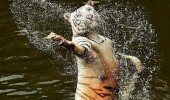 tiger animal splashing water i will always love you lyrics whitney houston funny pics pictures pic picture image photo images photos lol