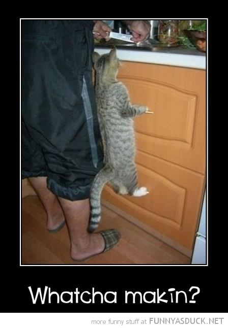 cat animal climbing unit drawers kitchen whatcha making funny pics pictures pic picture image photo images photos lol