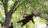 bear animal falling out tree caught him bearly funny pics pictures pic picture image photo images photos lol