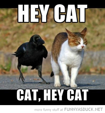 bird crow animal walking beside cat lolcat hey funny pics pictures pic picture image photo images photos lol