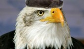 bird wig toupee bald eagle animal funny pics pictures pic picture image photo images photos lol