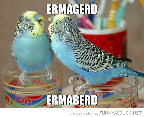budgie bird animal looking mirror ermahgerd ermaberd funny pics pictures pic picture image photo images photos lol