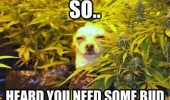 chiuaua dog animal weed marijuana heard you want bud funny pics pictures pic picture image photo images photos lol
