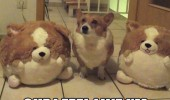 corgi dog animal soft toys teddys are you mocking me funny pics pictures pic picture image photo images photos lol