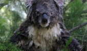 crazy wet koala bear animal much cuter ehrn dry funny pics pictures pic picture image photo images photos lol