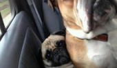 dogs animals car back seat pug mom touching me funny pics pictures pic picture image photo images photos lol