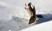 duck bird falling face snow animal go home bird drunk funny pics pictures pic picture image photo images photos lol