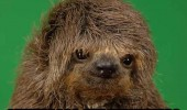 hairy sloth animal cute chewbacca early years star wars funny pics pictures pic picture image photo images photos lol