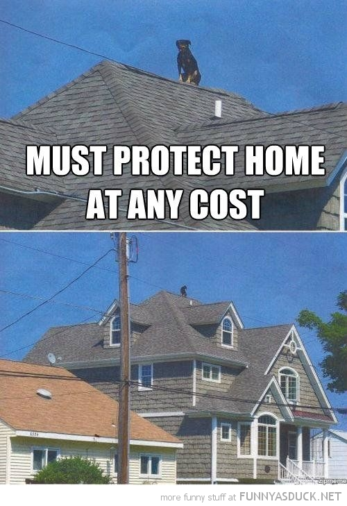 dog animal standing roof must protect house at any cost funny pics pictures pic picture image photo images photos lol