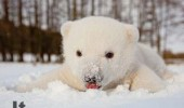 polar bear cub eating snow playing animal it is delicious funny pics pictures pic picture image photo images photos lol