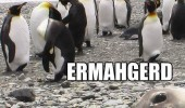 seal photo bomb ermagerd perngwens penguins animals funny pics pictures pic picture image photo images photos lol