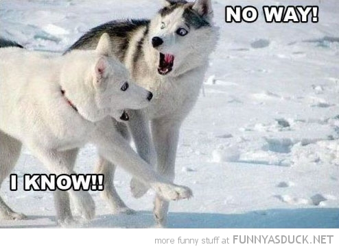 shocked dog animal no way husky snow surprised funny pics pictures pic picture image photo images photos lol