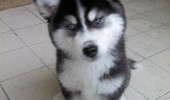 skeptical puppy dog husky you're telling me ball never left your hand funny pics pictures pic picture image photo images photos lol