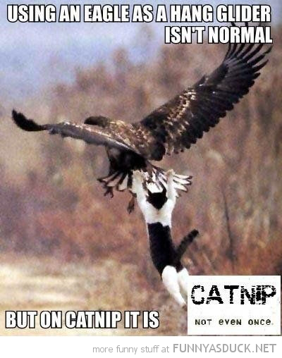 cat lolcat animal use eagle hang glider not normal catnip not even once funny pics pictures pic picture image photo images photos lol