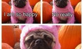angry annoyed pug dog animal so happy costume funny pics pictures pic picture image photo images photos lol