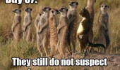 cat animal standing up not suspect am a mear cat meerkat funny pics pictures pic picture image photo images photos lol