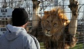 chat up line lion animal fence come here often funny pics pictures pic picture image photo images photos lol