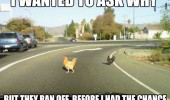 chicken crossing road wanted to ask why ran off animal funny pics pictures pic picture image photo images photos lol