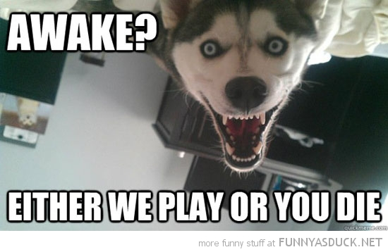 crazy dog animal husky awake play or die funny pics pictures pic picture image photo images photos lol
