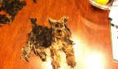 cut yorkies dog hair shape animal kill me funny pics pictures pic picture image photo images photos lol
