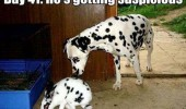 dalmation rabbit bunny dog getting suspicious funny pics pictures pic picture image photo images photos lol