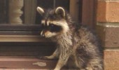 doctor said need eye surgery cat animal raccoon funny pics pictures pic picture image photo images photos lol
