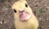 cute baby duckling animal you think this a mother ducking game funny pics pictures pic picture image photo images photos lol