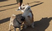 ermahgerd perg dogs playing pug corgi animal funny pics pictures pic picture image photo images photos lol