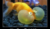 gold fish bubble face animals no one told him breath underwater funny pics pictures pic picture image photo images photos lol