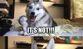 husky dog animal real puppy or not happy laughing funny pics pictures pic picture image photo images photos lol