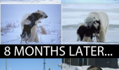 husky dog wolf animal playing polar bear 8 months later fat puppy funny pics pictures pic picture image photo images photos lol