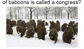 large group baboons called congress explains a lot monkey animal funny pics pictures pic picture image photo images photos lol
