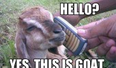 animal phone hello yes the is goat funny pics pictures pic picture image photo images photos lol