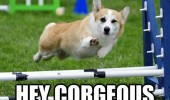 photogenic dog corgi animal show jump fence winking hey corgeous funny pics pictures pic picture image photo images photos lol