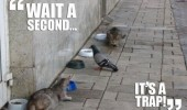 pigeon bird animal eating cats stalking wait second it's a trap funny pics pictures pic picture image photo images photos lol