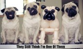 pug dog balloon animal still think one of them undercover funny pics pictures pic picture image photo images photos lol